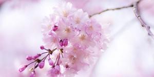 PeonyCherry-blossom-1-300x150